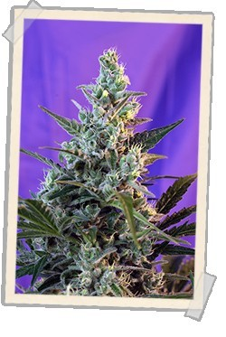 Image of Sweet Skunk F1 Fast Version