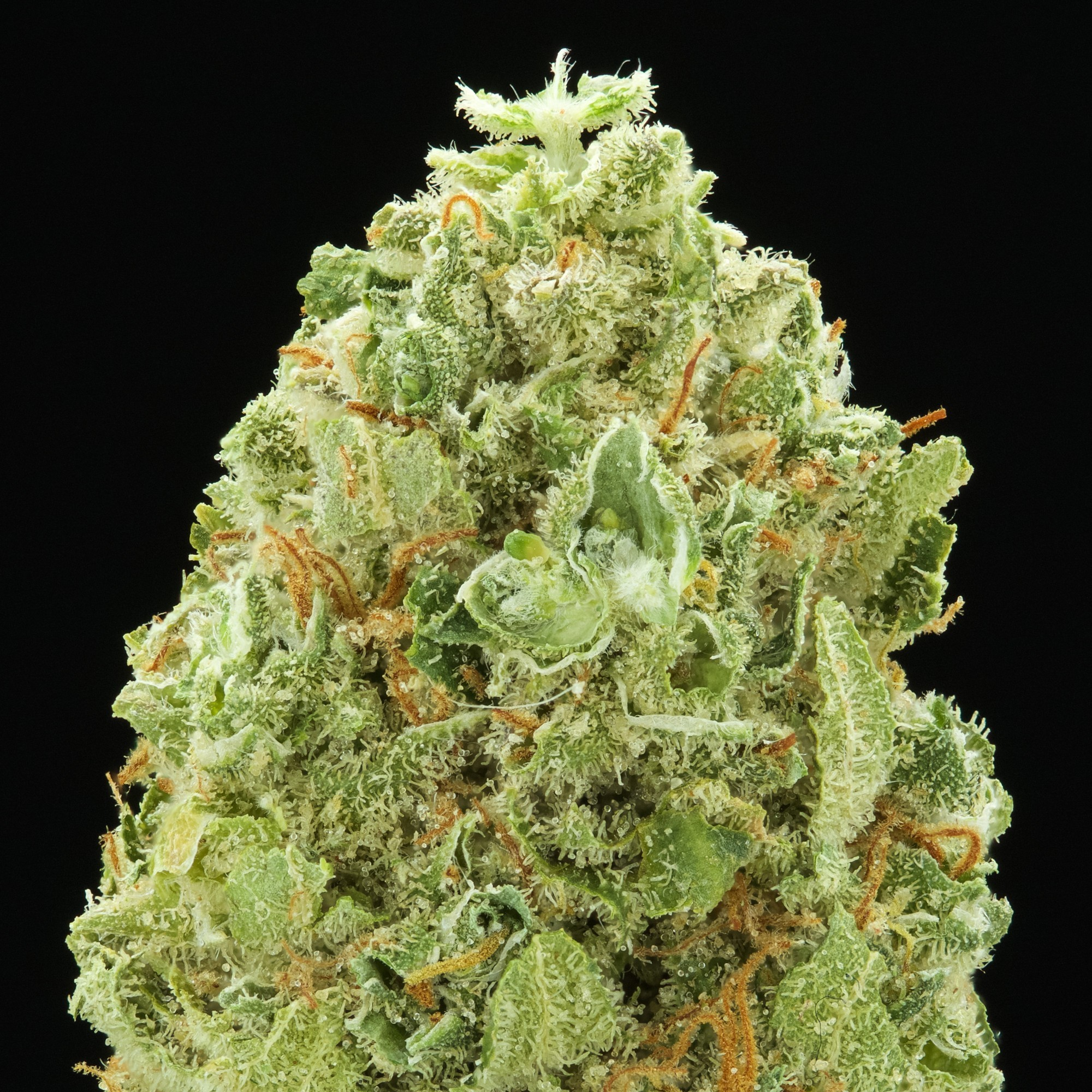 Image of Amnesia Widow