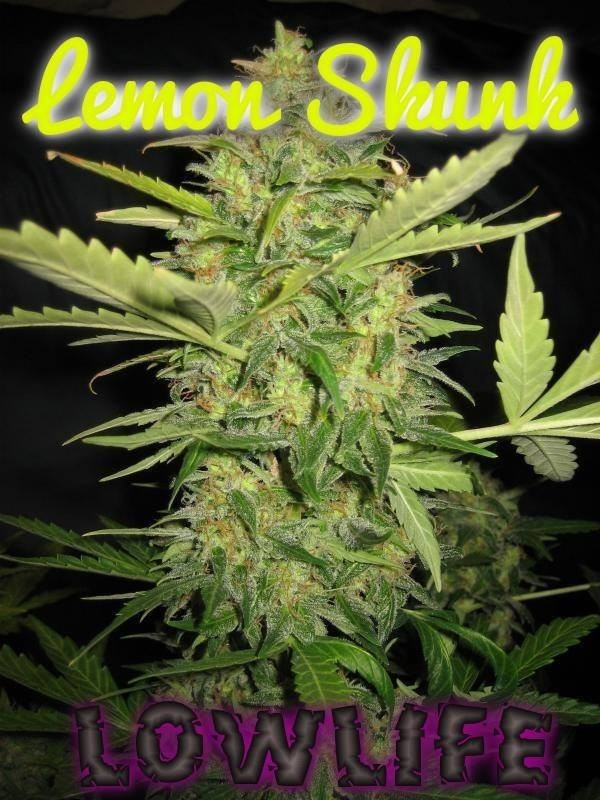 Image of Automatic Lemon Skunk